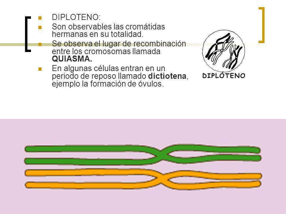 DIPLOTENO: Son observables las cromátidas hermanas en su totalidad. Se observa el lugar de recombinación entre los cromosomas llamada QUIASMA. En algu
