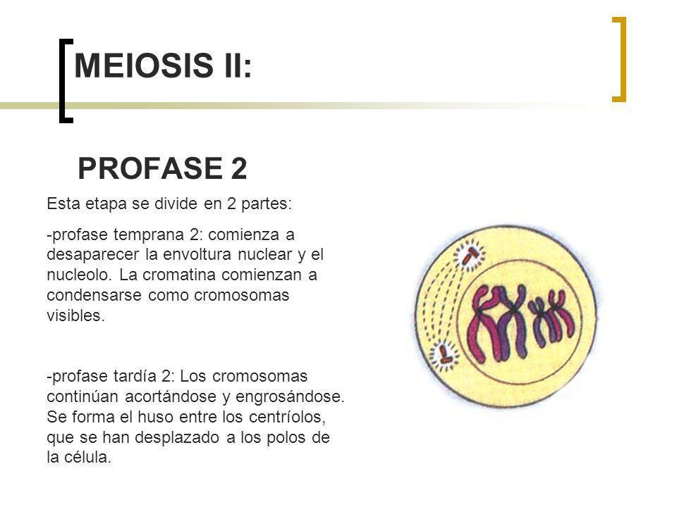 MEIOSIS II: PROFASE 2 Esta etapa se divide en 2 partes: -profase temprana 2: comienza a desaparecer la envoltura nuclear y el nucleolo. La cromatina c