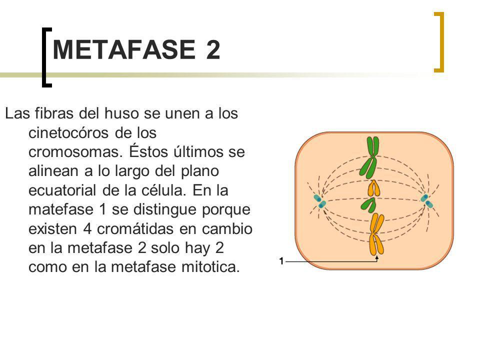 METAFASE 2 Las fibras del huso se unen a los cinetocóros de los cromosomas. Éstos últimos se alinean a lo largo del plano ecuatorial de la célula. En