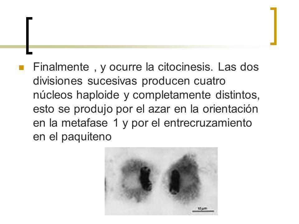 Finalmente, y ocurre la citocinesis. Las dos divisiones sucesivas producen cuatro núcleos haploide y completamente distintos, esto se produjo por el a