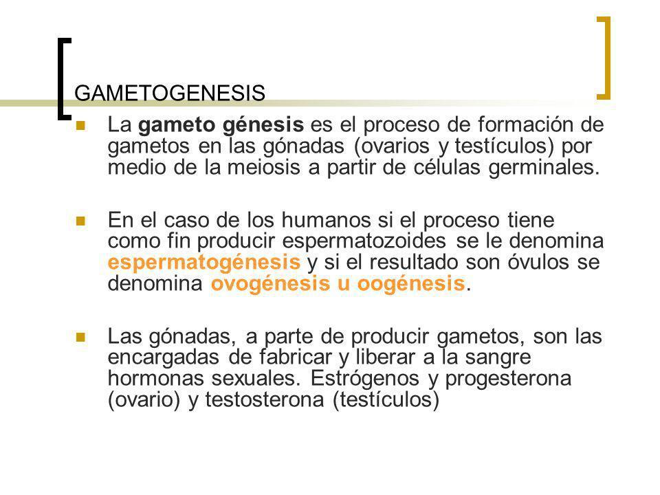GAMETOGENESIS La gameto génesis es el proceso de formación de gametos en las gónadas (ovarios y testículos) por medio de la meiosis a partir de célula