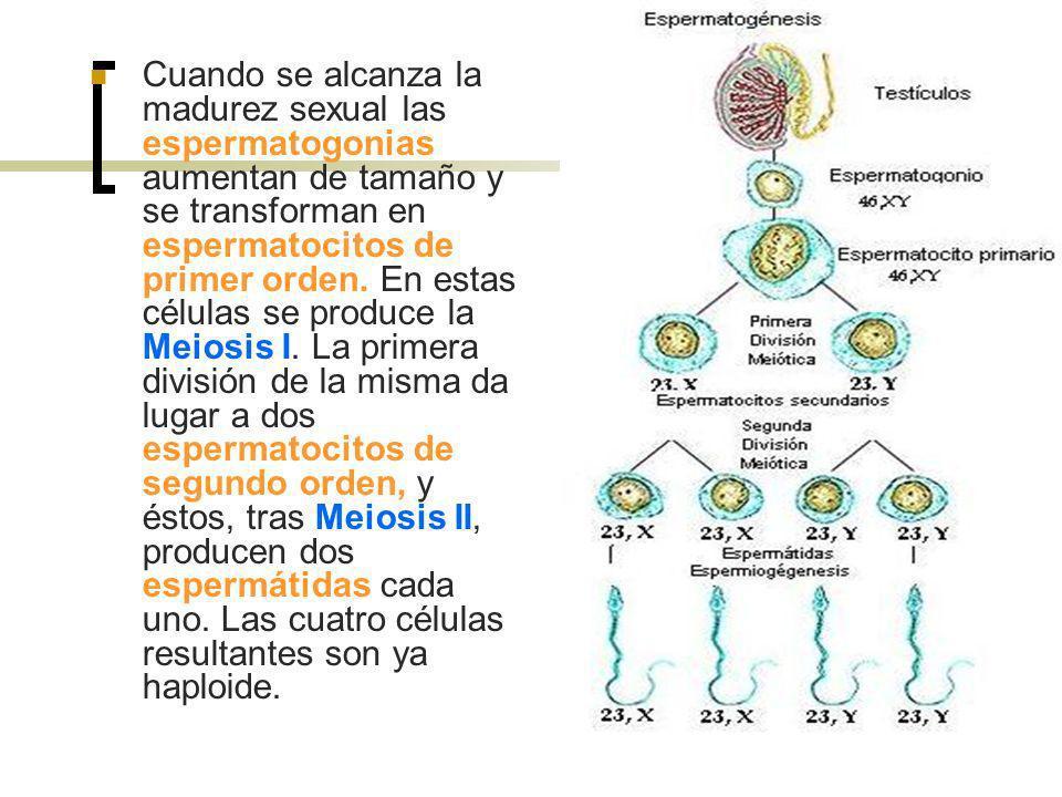 Cuando se alcanza la madurez sexual las espermatogonias aumentan de tamaño y se transforman en espermatocitos de primer orden. En estas células se pro