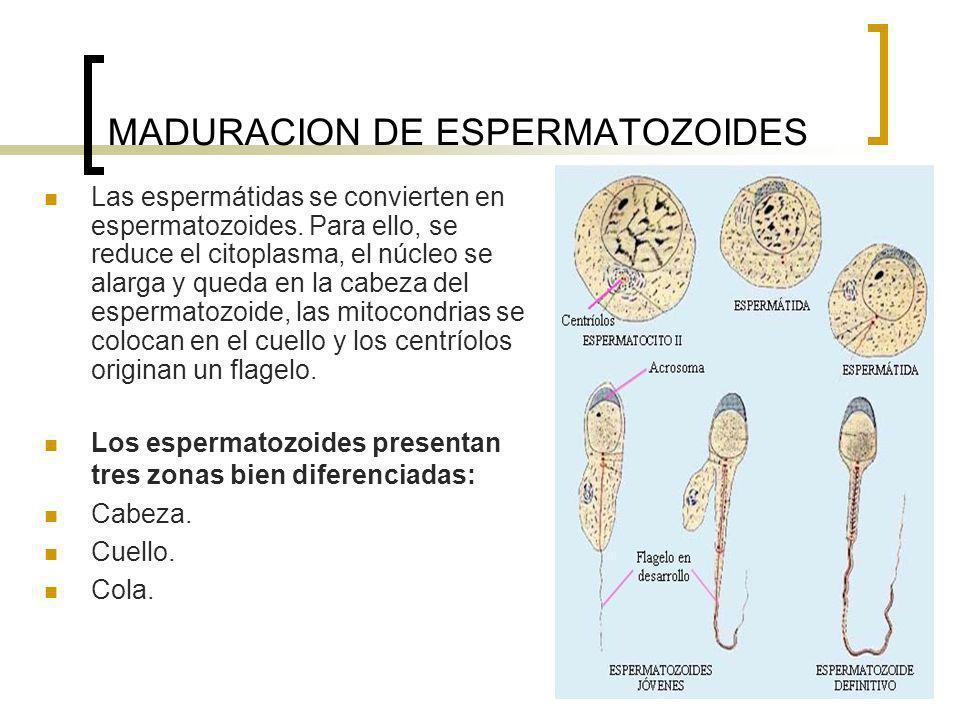 MADURACION DE ESPERMATOZOIDES Las espermátidas se convierten en espermatozoides. Para ello, se reduce el citoplasma, el núcleo se alarga y queda en la