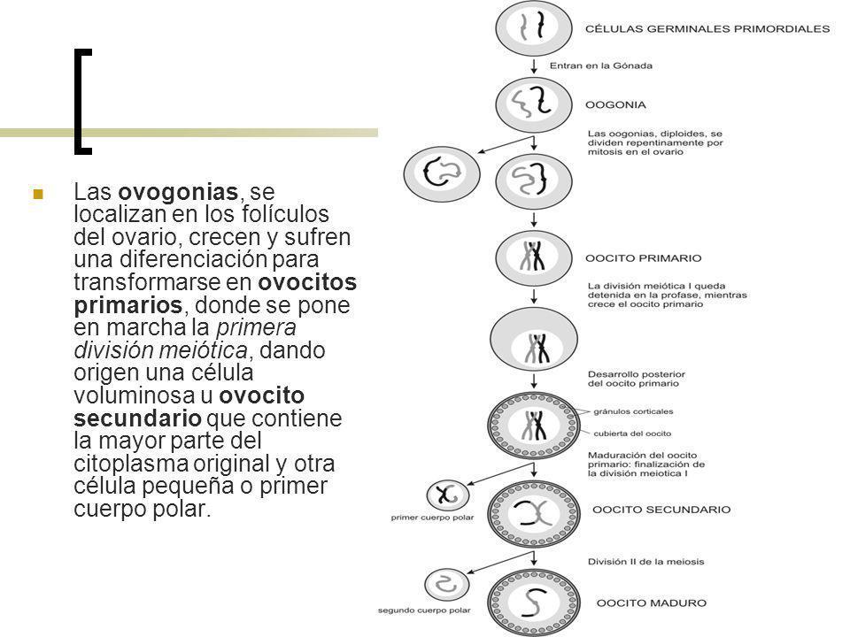 Las ovogonias, se localizan en los folículos del ovario, crecen y sufren una diferenciación para transformarse en ovocitos primarios, donde se pone en