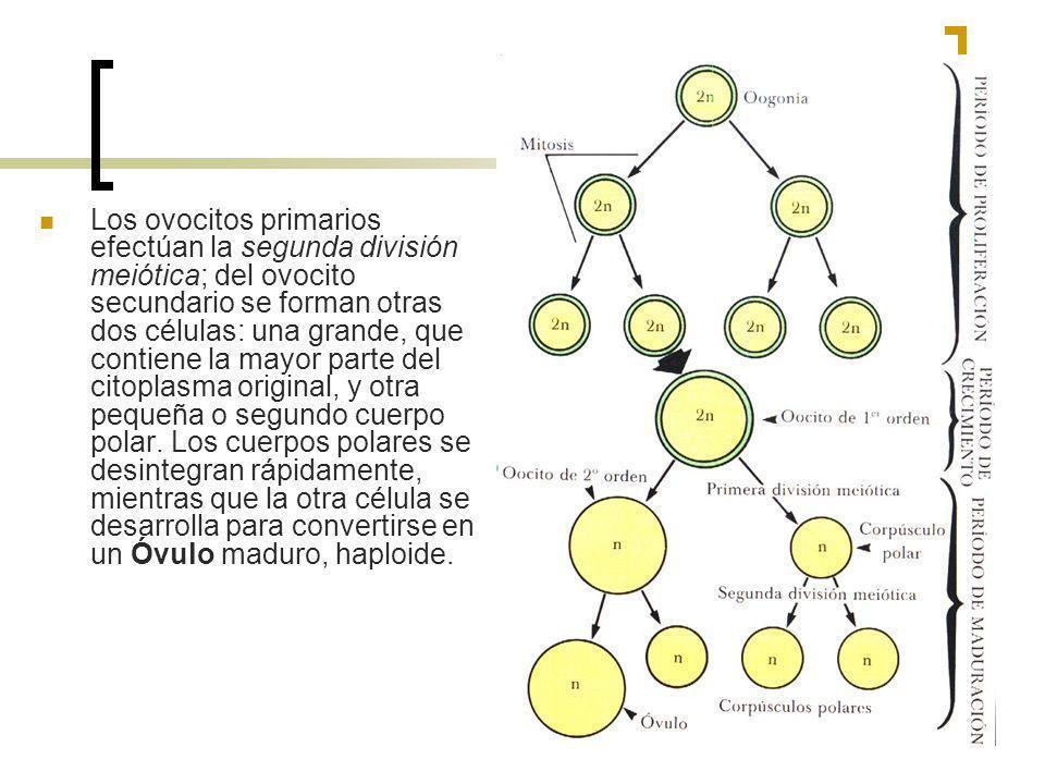 Los ovocitos primarios efectúan la segunda división meiótica; del ovocito secundario se forman otras dos células: una grande, que contiene la mayor pa