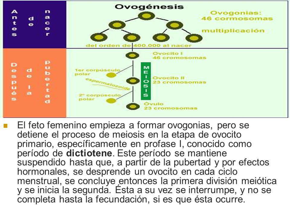 El feto femenino empieza a formar ovogonias, pero se detiene el proceso de meiosis en la etapa de ovocito primario, específicamente en profase I, cono