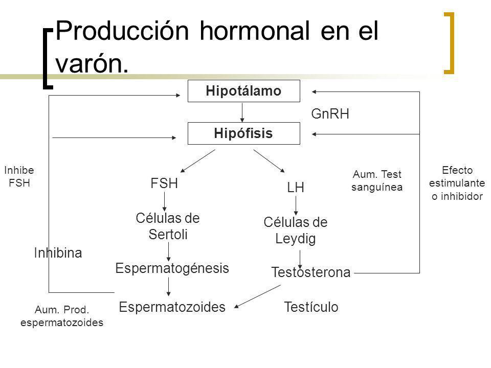 Producción hormonal en el varón. Hipotálamo Hipófisis FSH LH Células de Sertoli Células de Leydig Espermatogénesis Espermatozoides Testosterona Testíc