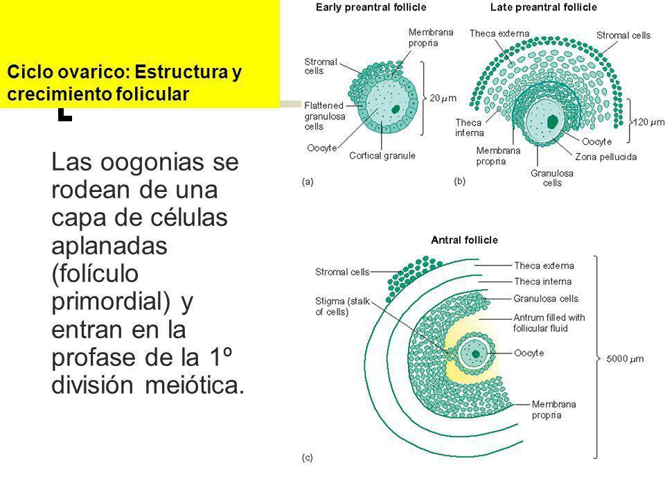 Las oogonias se rodean de una capa de células aplanadas (folículo primordial) y entran en la profase de la 1º división meiótica. Ciclo ovarico: Estruc