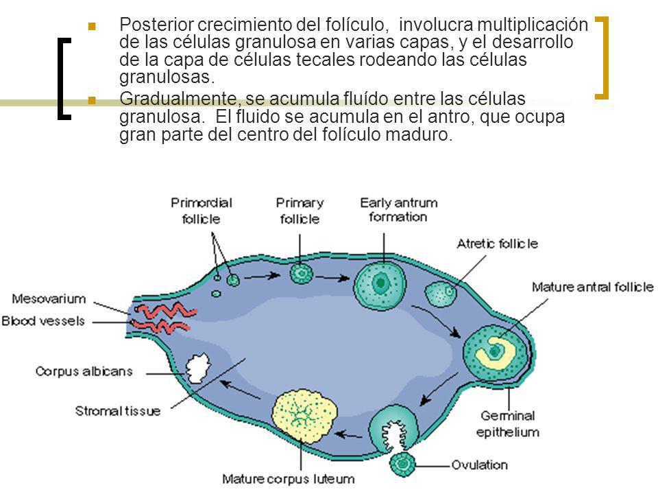 Posterior crecimiento del folículo, involucra multiplicación de las células granulosa en varias capas, y el desarrollo de la capa de células tecales r