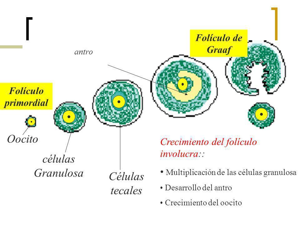 Folículo primordial Folículo de Graaf células Granulosa Células tecales Oocito antro Crecimiento del folículo involucra:: Multiplicación de las célula
