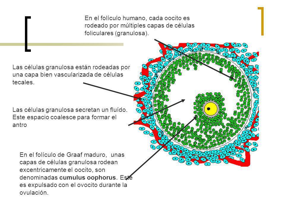 En el folículo humano, cada oocito es rodeado por múltiples capas de células foliculares (granulosa). Las células granulosa están rodeadas por una cap