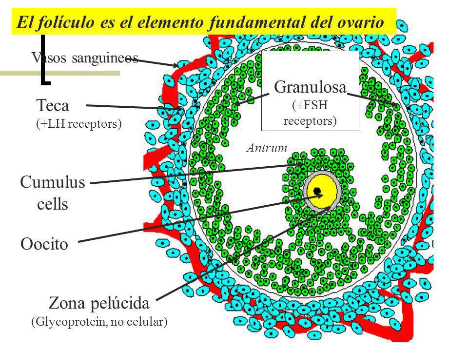 Teca (+LH receptors) Granulosa (+FSH receptors) Cumulus cells Vasos sanguineos Antrum Oocito Zona pelúcida (Glycoprotein, no celular) El folículo es e