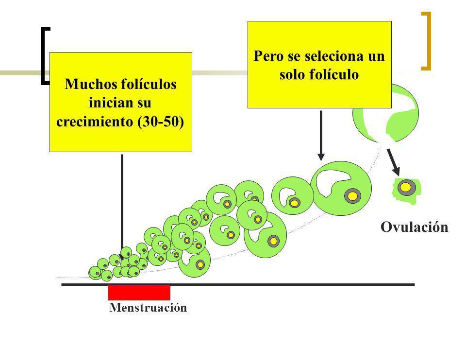 Menstruación Ovulación Muchos folículos inician su crecimiento (30-50) Pero se seleciona un solo folículo