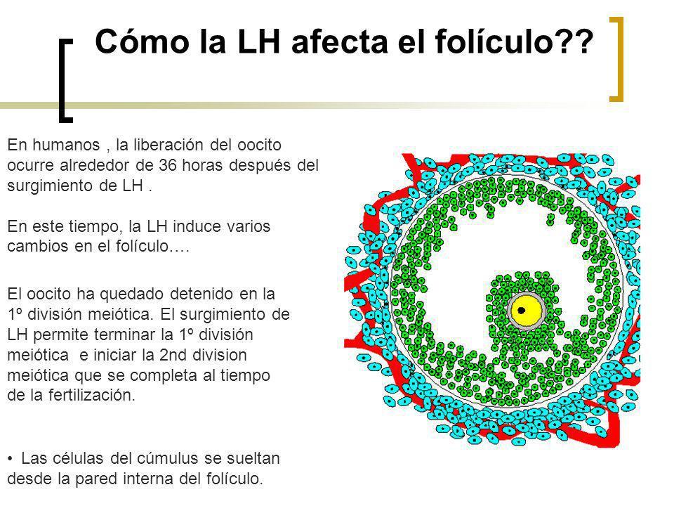 Cómo la LH afecta el folículo?? En humanos, la liberación del oocito ocurre alrededor de 36 horas después del surgimiento de LH. En este tiempo, la LH