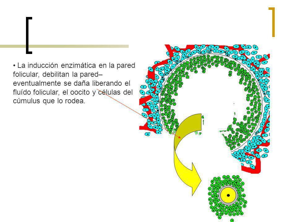 La inducción enzimática en la pared folicular, debilitan la pared– eventualmente se daña liberando el fluído folicular, el oocito y células del cúmulu