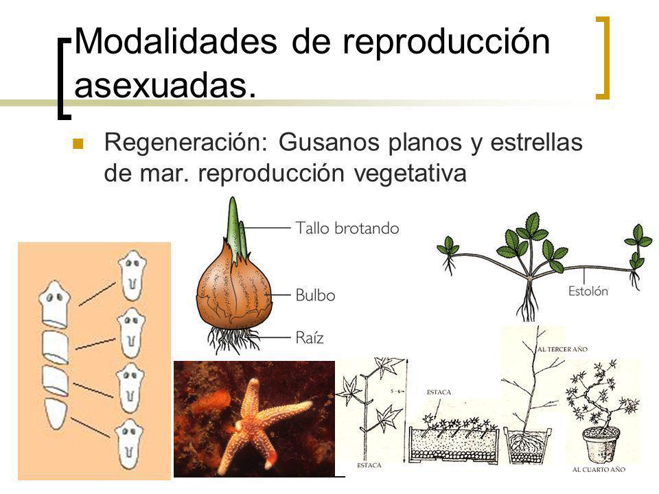 Modalidades de reproducción asexuadas. Regeneración: Gusanos planos y estrellas de mar. reproducción vegetativa