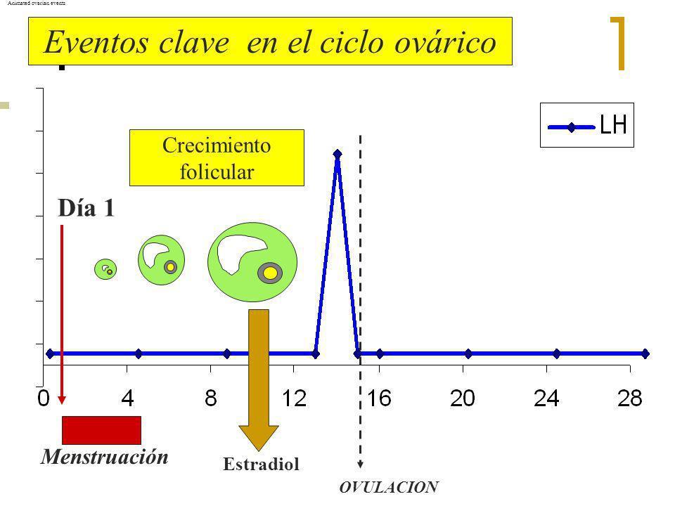 Día 1 Menstruación OVULACION Animated ovarian events Estradiol Eventos clave en el ciclo ovárico Crecimiento folicular