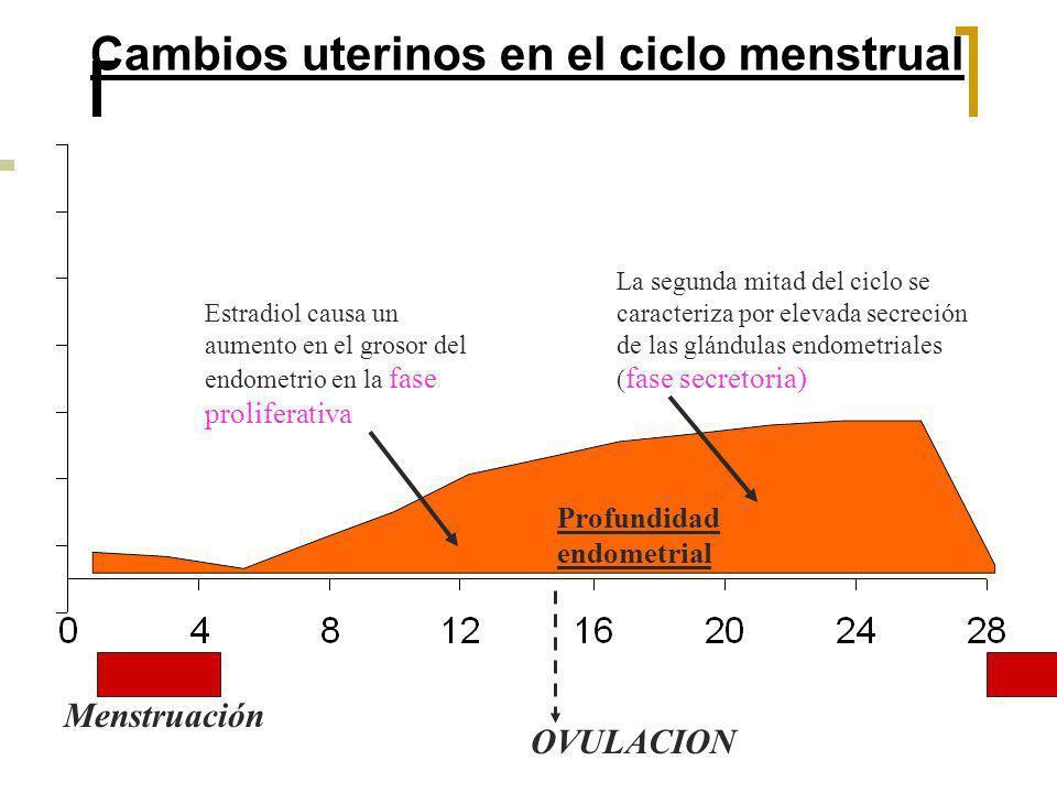 Cambios uterinos en el ciclo menstrual Menstruación OVULACION Estradiol causa un aumento en el grosor del endometrio en la fase proliferativa La segun