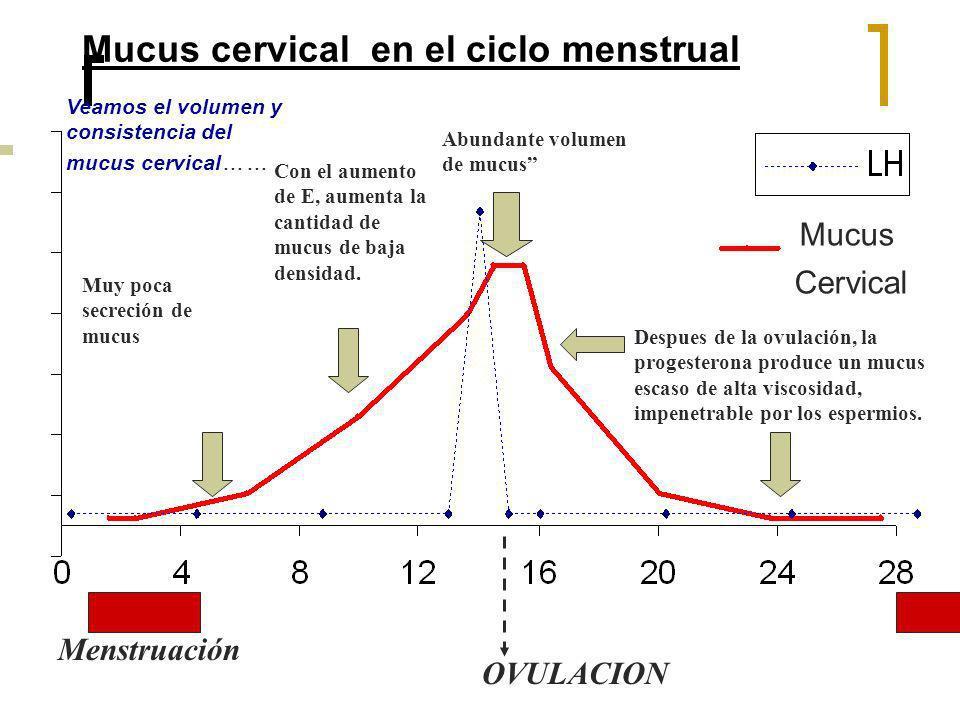 Mucus cervical en el ciclo menstrual Menstruación OVULACION Muy poca secreción de mucus Con el aumento de E, aumenta la cantidad de mucus de baja dens