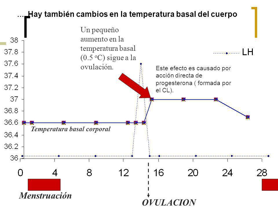 …. Hay también cambios en la temperatura basal del cuerpo Menstruación OVULACION Un pequeño aumento en la temperatura basal (0.5 o C) sigue a la ovula