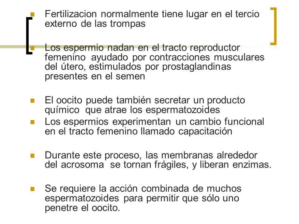 Fertilizacion normalmente tiene lugar en el tercio externo de las trompas Los espermio nadan en el tracto reproductor femenino ayudado por contraccion