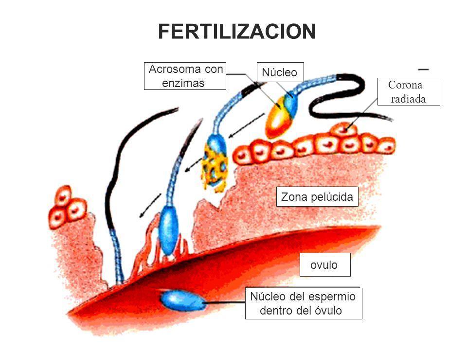 Zona pelúcida ovulo Núcleo del espermio dentro del óvulo Acrosoma con enzimas Núcleo FERTILIZACION Corona radiada