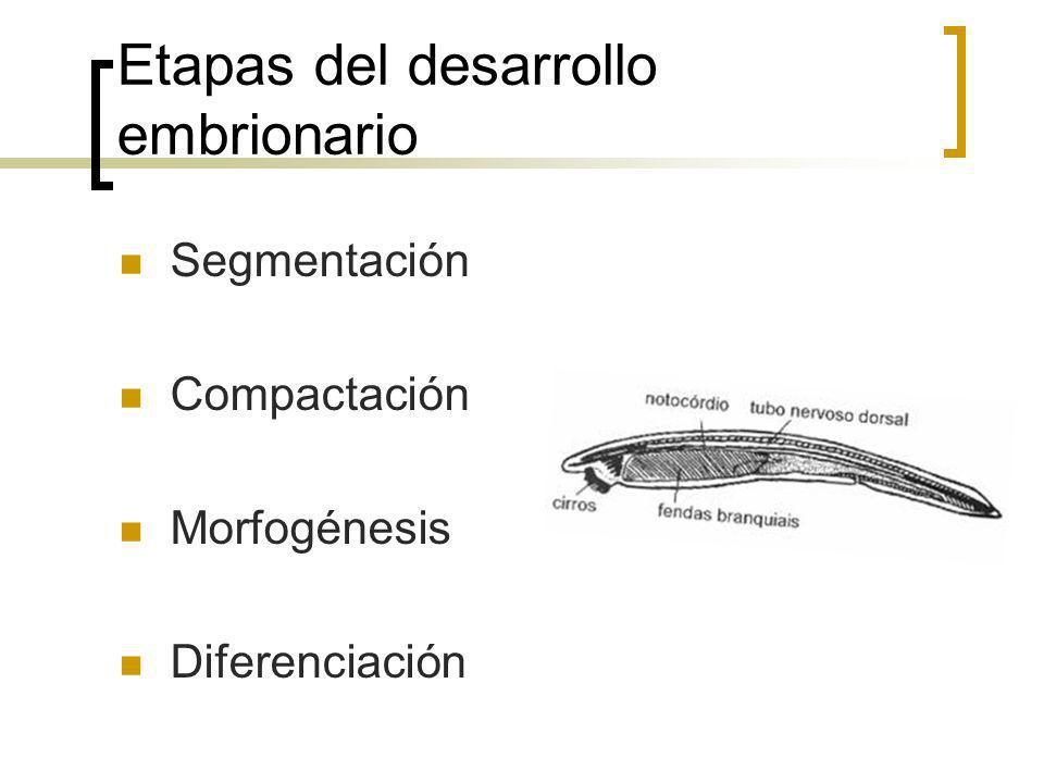 Etapas del desarrollo embrionario Segmentación Compactación Morfogénesis Diferenciación