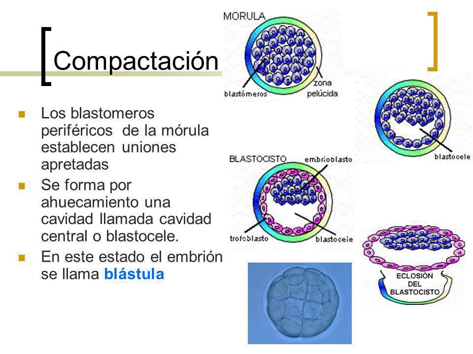 Compactación Los blastomeros periféricos de la mórula establecen uniones apretadas Se forma por ahuecamiento una cavidad llamada cavidad central o bla