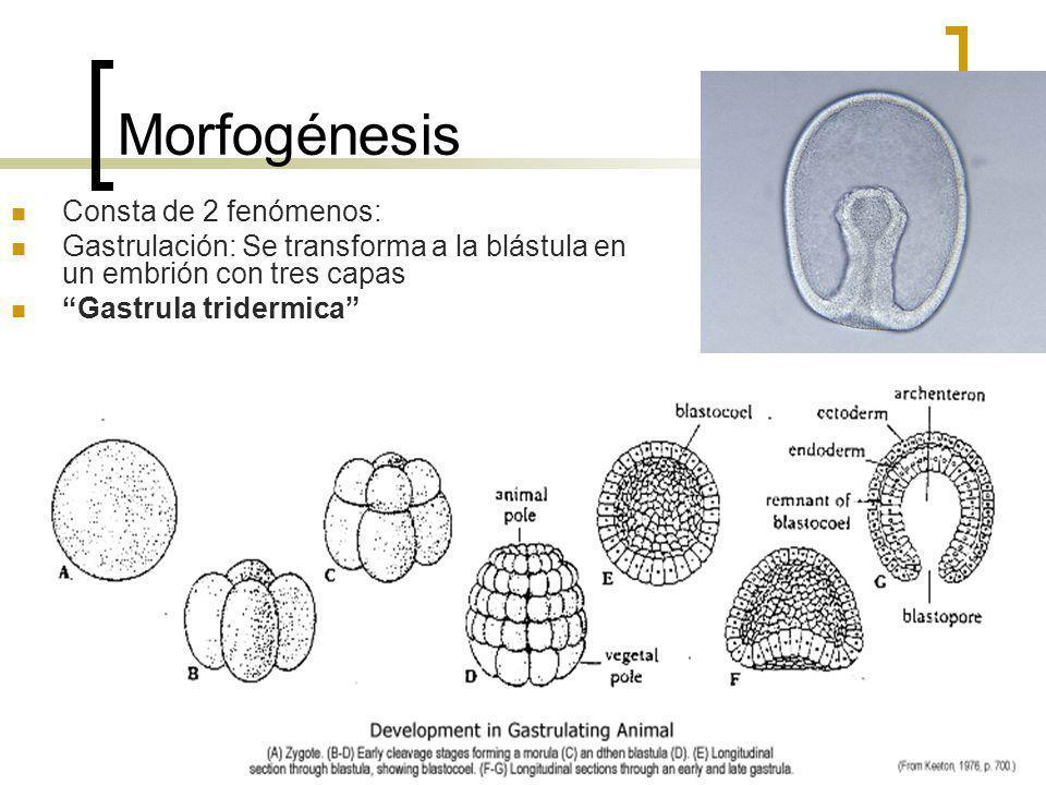 Morfogénesis Consta de 2 fenómenos: Gastrulación: Se transforma a la blástula en un embrión con tres capas Gastrula tridermica
