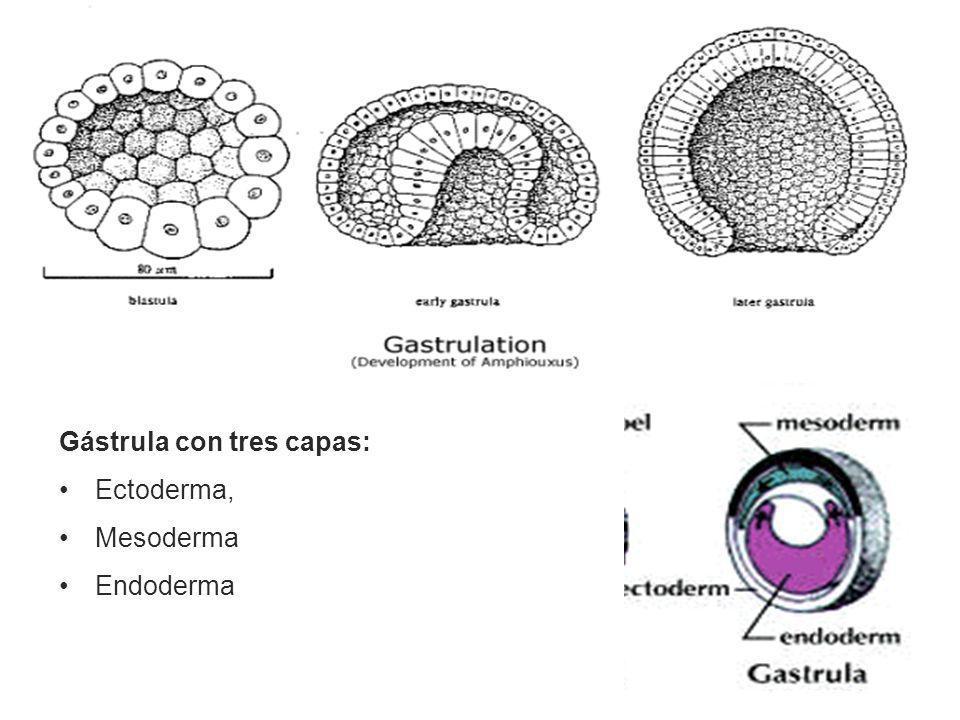 Gástrula con tres capas: Ectoderma, Mesoderma Endoderma