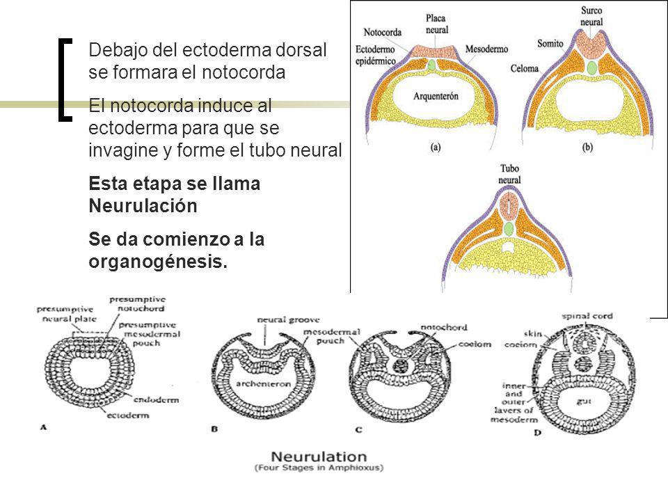 Debajo del ectoderma dorsal se formara el notocorda El notocorda induce al ectoderma para que se invagine y forme el tubo neural Esta etapa se llama N