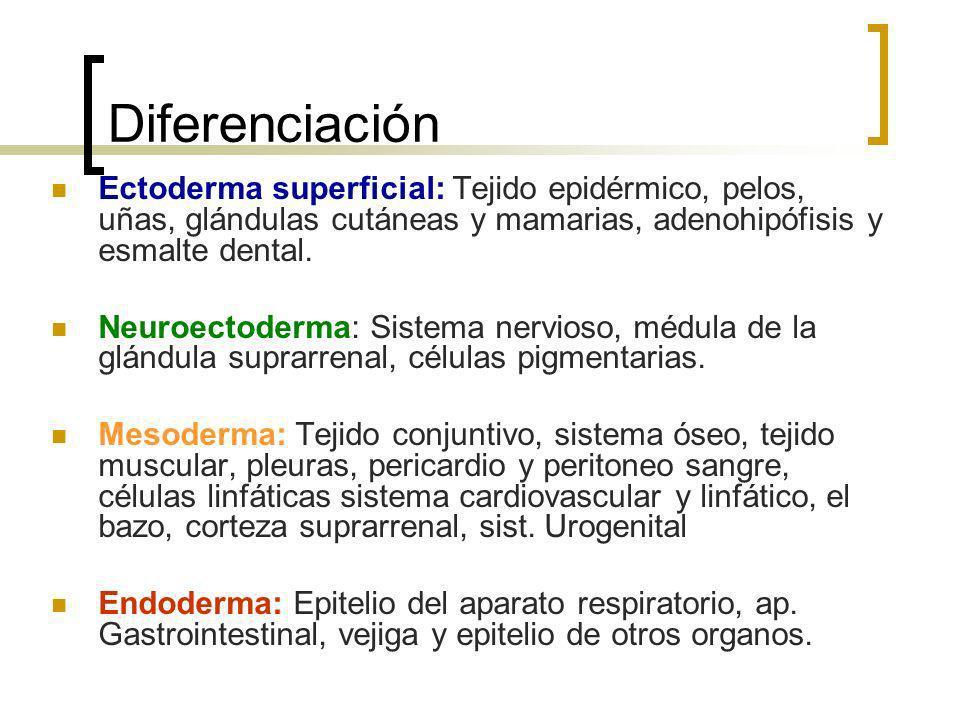 Diferenciación Ectoderma superficial: Tejido epidérmico, pelos, uñas, glándulas cutáneas y mamarias, adenohipófisis y esmalte dental. Neuroectoderma: