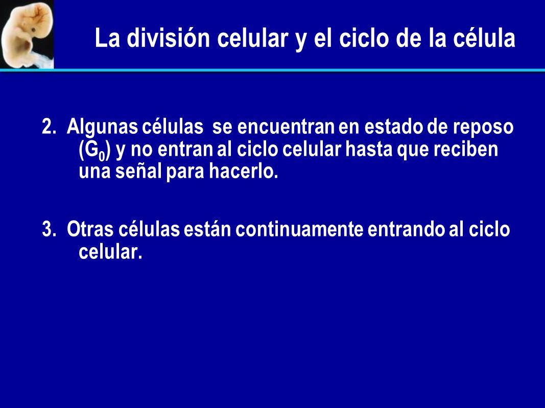 La división celular y el ciclo de la célula A. A.Diferentes tipos de células tienen distintas velocidades de división celular. 1. Algunas células de t