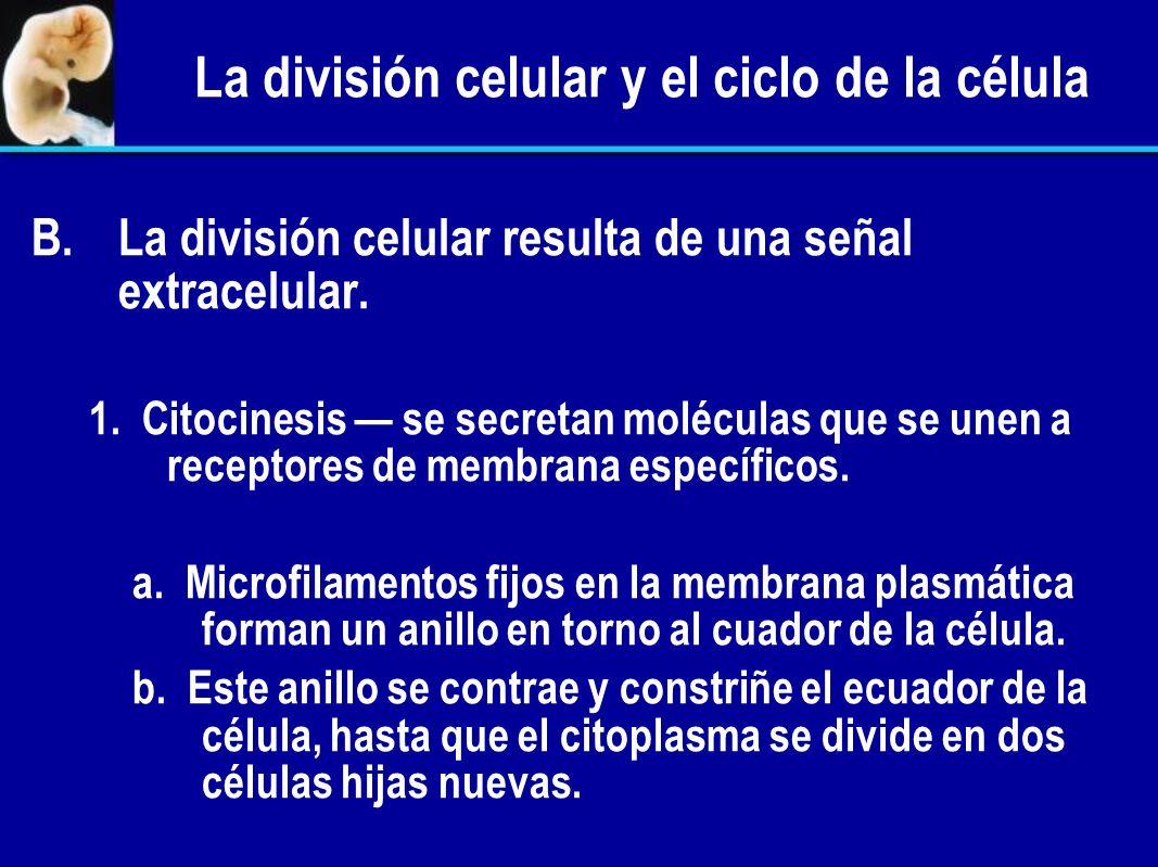 La división celular y el ciclo de la célula 2. Algunas células se encuentran en estado de reposo (G 0 ) y no entran al ciclo celular hasta que reciben