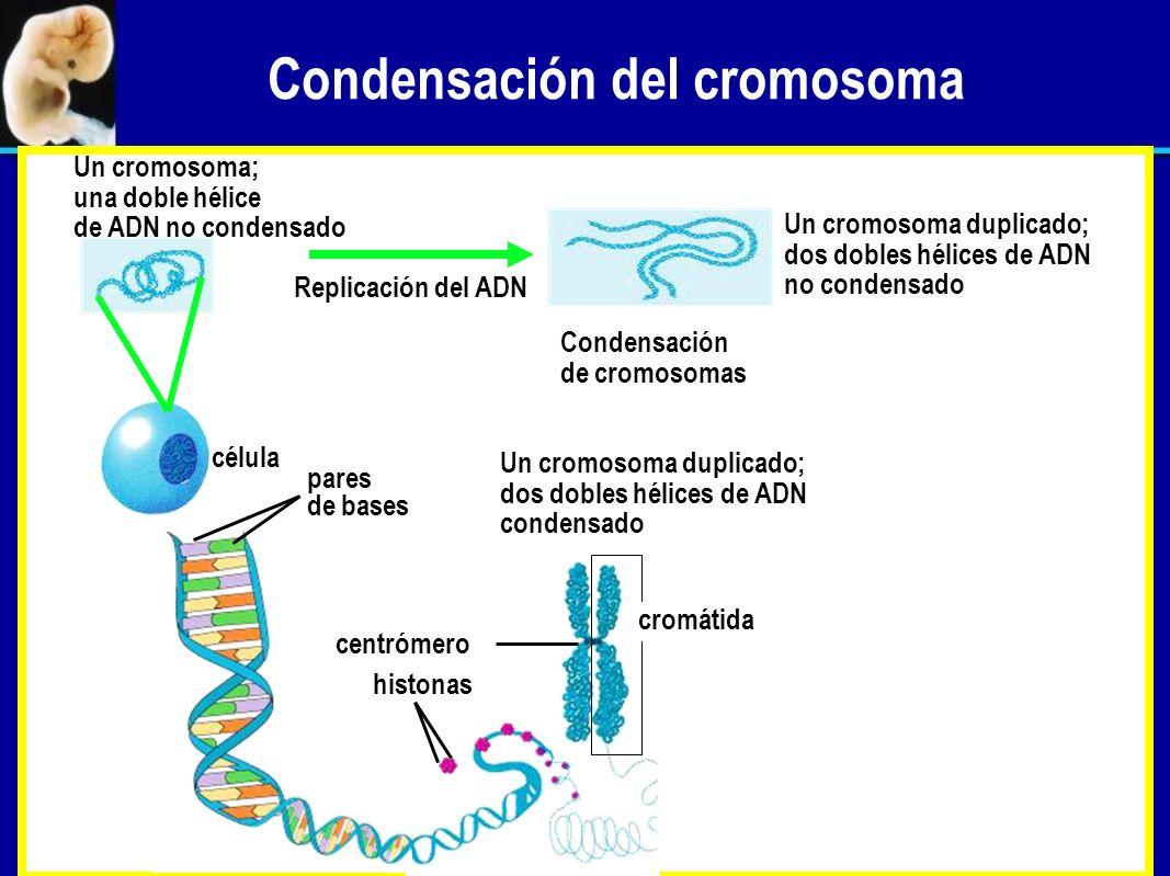 Mitosis, meiosis y el ciclo sexual mitosis para el mantenimiento del organismo meiosis en el ovario para producir óvulos meiosis en el testículo para