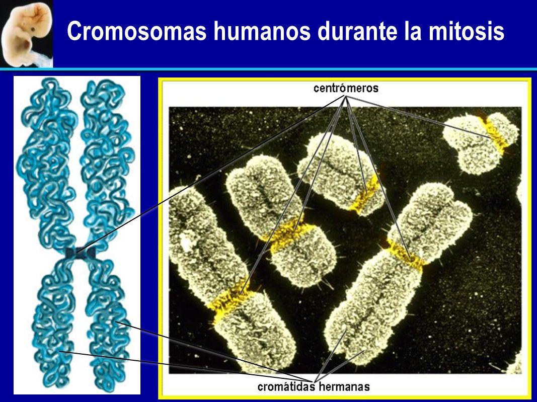 Un cromosoma; una doble hélice de ADN no condensado Replicación del ADN Un cromosoma duplicado; dos dobles hélices de ADN no condensado Condensación d
