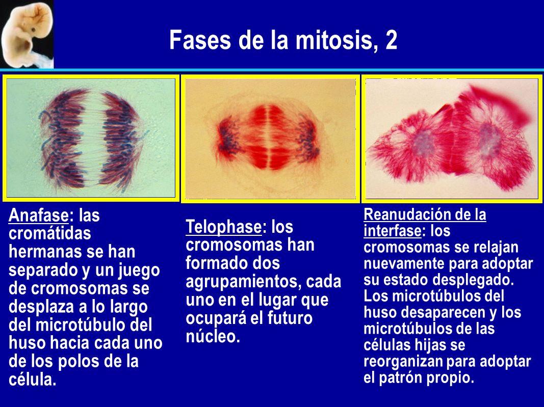 Separación de las cromátidas hermanas Durante la metafase, las cromátidas hermanas se mantienen unidas al centrómero. Al final de la metafase, el cent