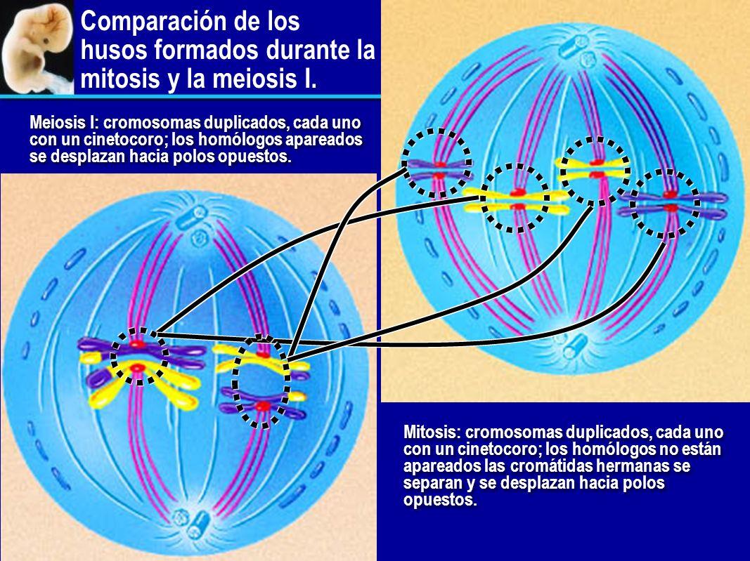 Entrecruzamiento Los homólogos se aparean. Cadenas de proteínas cierran los cromosomas homólogos como una cremallera. Las enzimas de recombinación cor