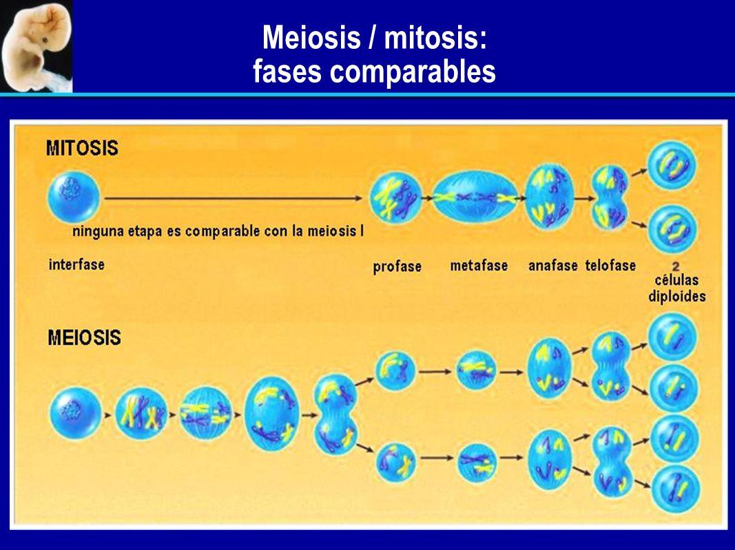 Comparación de los husos formados durante la mitosis y la meiosis I. Meiosis I: cromosomas duplicados, cada uno con un cinetocoro; los homólogos apare