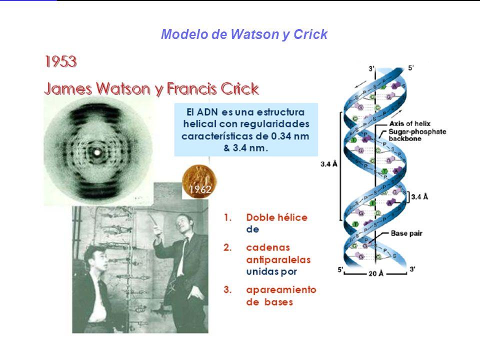 Modelo de Watson y Crick