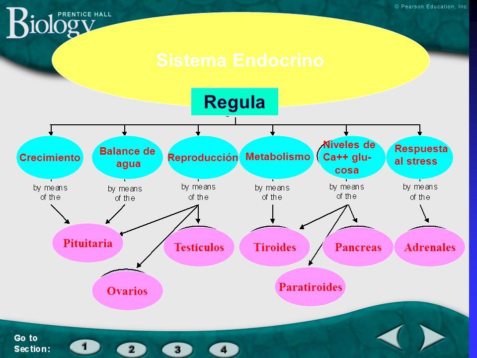 Crecimiento Balance de agua Reproducción Respuesta al stress Niveles de Ca++ glu- cosa Metabolismo Sistema Endocrino Pituitaria TiroidesTestículosAdre