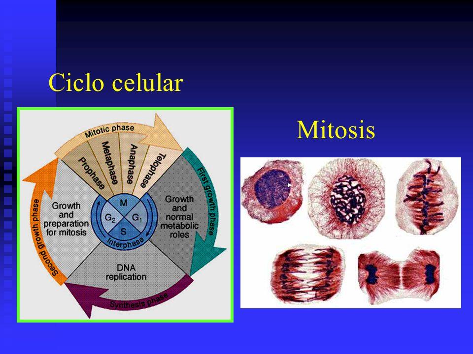 Ciclo celular Mitosis