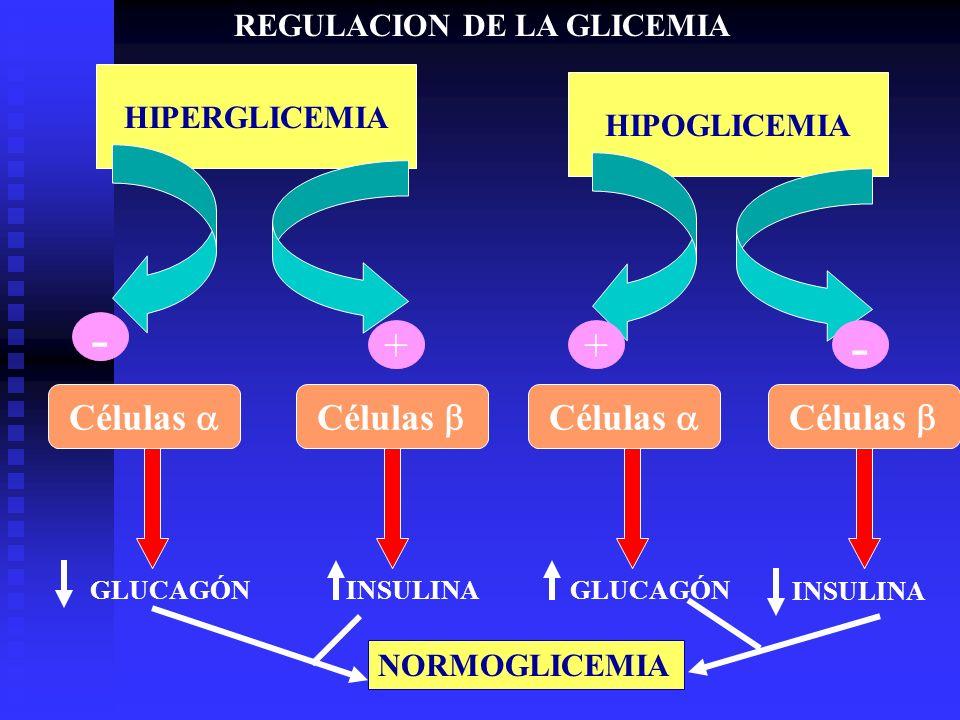 HIPERGLICEMIA + HIPOGLICEMIA - Células + - GLUCAGÓNINSULINAGLUCAGÓN INSULINA NORMOGLICEMIA REGULACION DE LA GLICEMIA