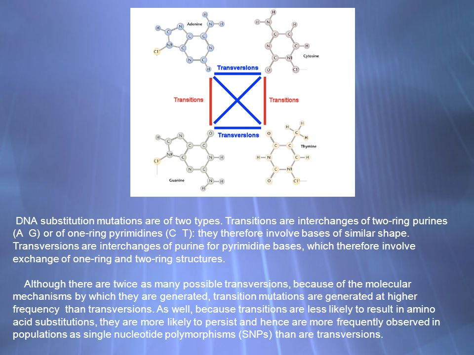 DNA substitution mutations are of two types. Transitions are interchanges of two-ring purines (A G) or of one-ring pyrimidines (C T): they therefore i
