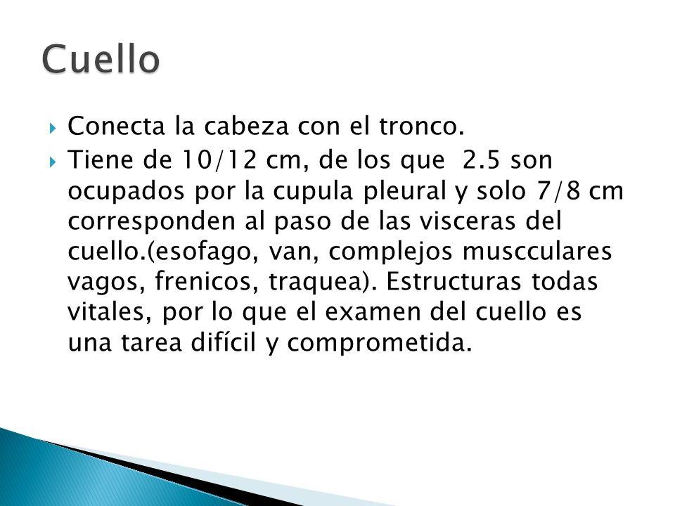 Conecta la cabeza con el tronco. Tiene de 10/12 cm, de los que 2.5 son ocupados por la cupula pleural y solo 7/8 cm corresponden al paso de las viscer
