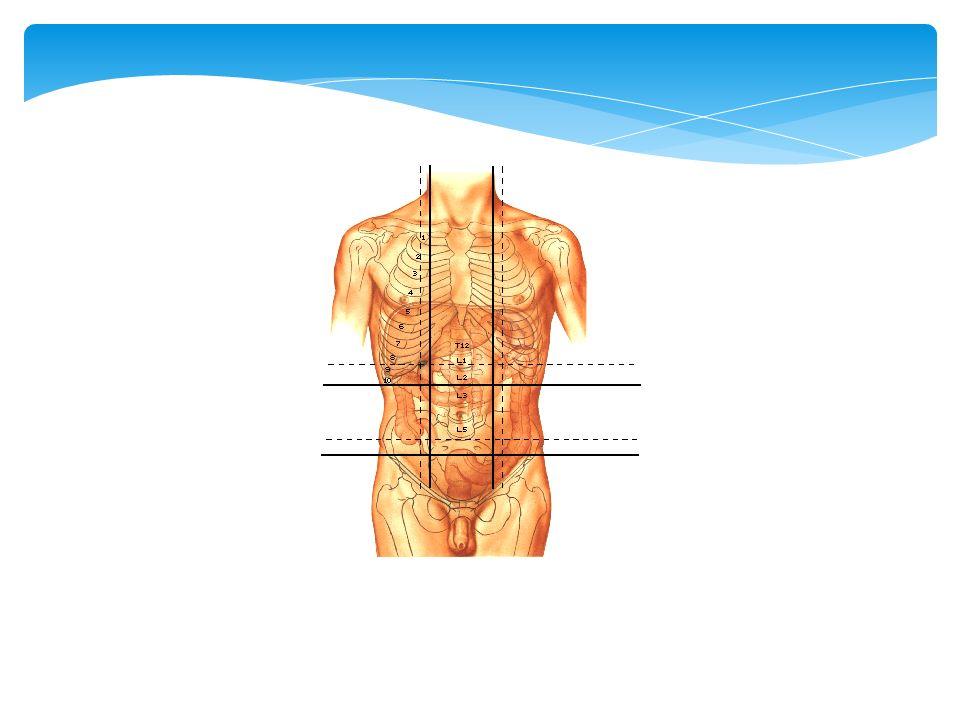 Casi todo el abdomen está ocupada por el intestino delgádo y estómago, que dan timpanismo, es decir vísceras huécas, si da matidez puede ser bazo, hígado, masa o ascitis.