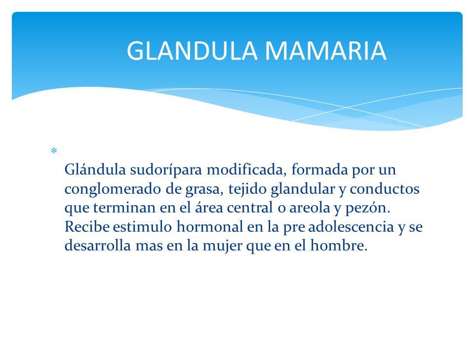 Glándula sudorípara modificada, formada por un conglomerado de grasa, tejido glandular y conductos que terminan en el área central o areola y pezón. R