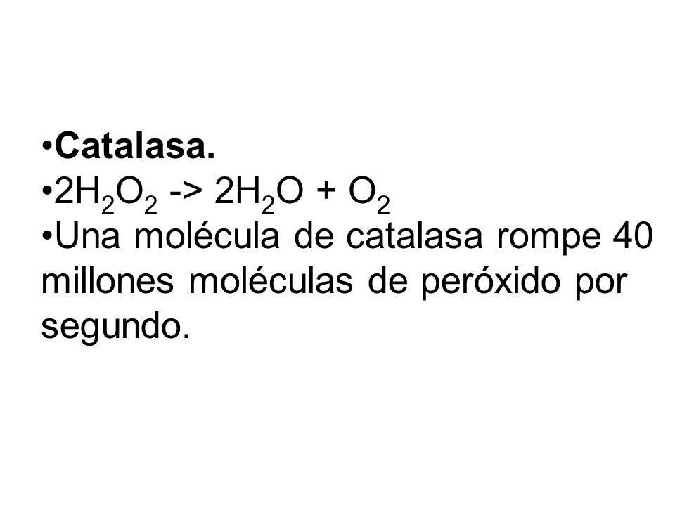 Catalasa. 2H 2 O 2 -> 2H 2 O + O 2 Una molécula de catalasa rompe 40 millones moléculas de peróxido por segundo.