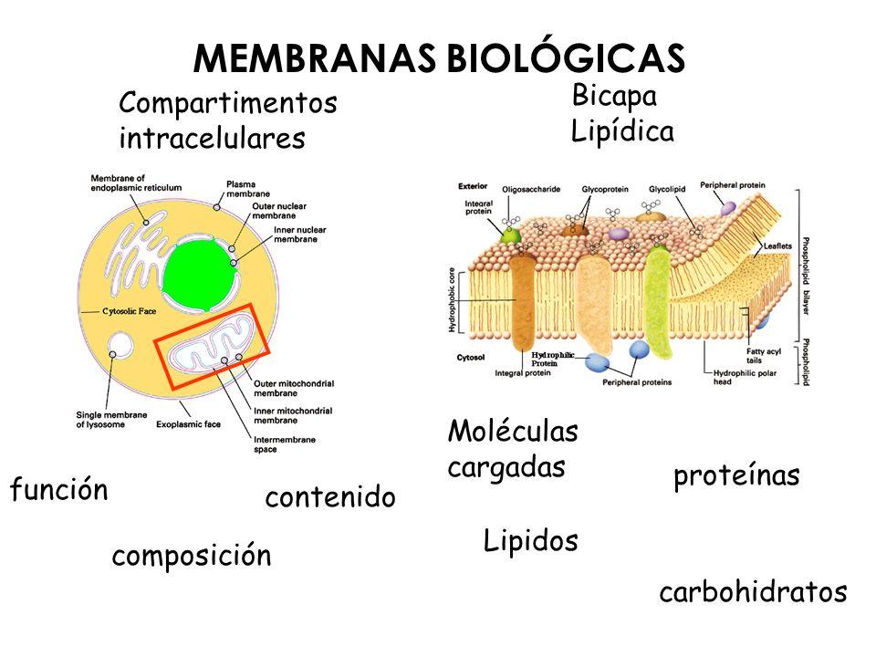 MEMBRANAS BIOLÓGICAS Compartimentos intracelulares función contenido composición Bicapa Lipídica proteínas Moléculas cargadas Lipidos carbohidratos
