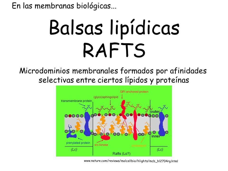 En las membranas biológicas... Balsas lipídicas RAFTS Microdominios membranales formados por afinidades selectivas entre ciertos lípidos y proteínas w
